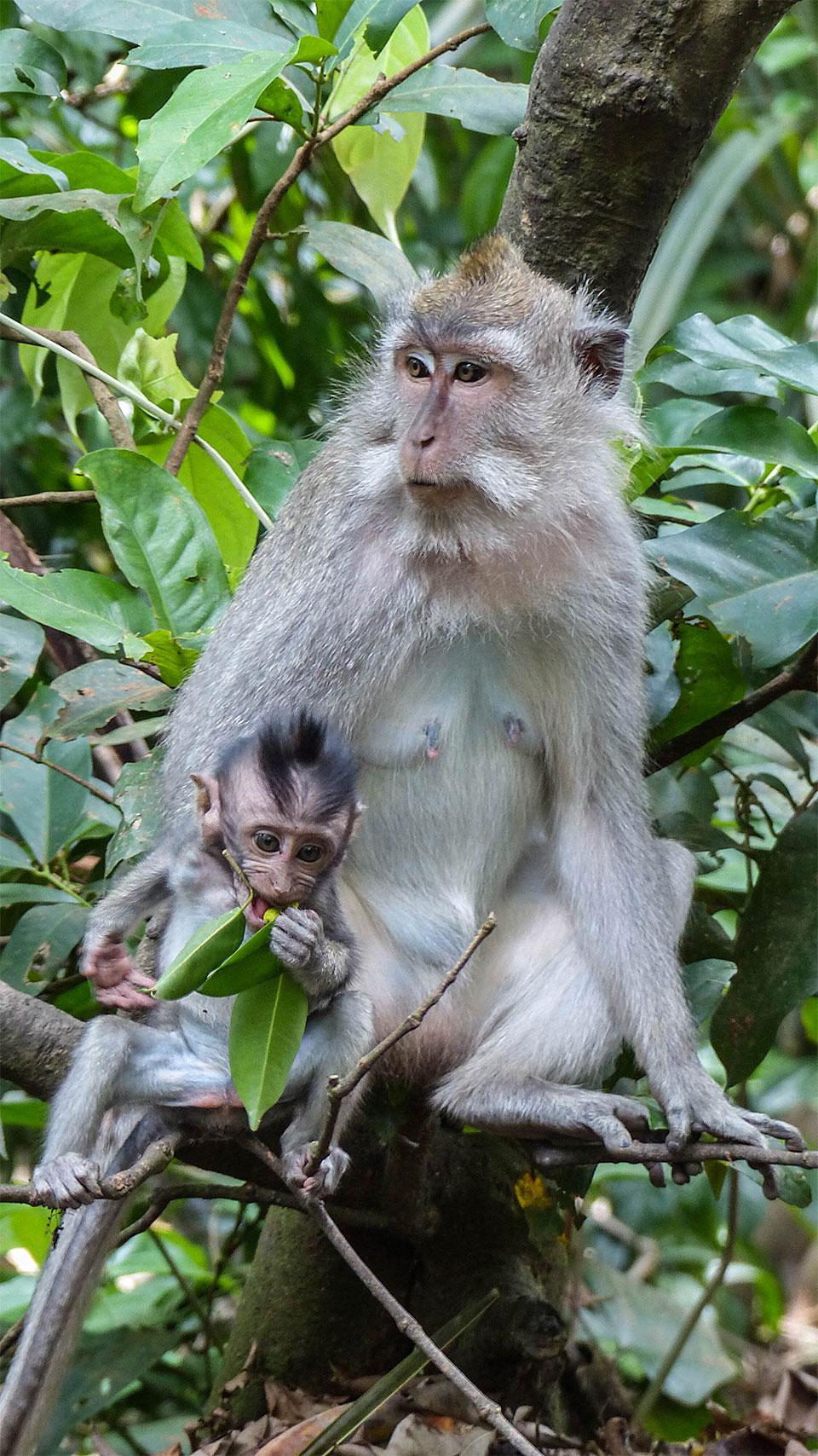 1-2-Bali-Nature-MacacaFascicularis