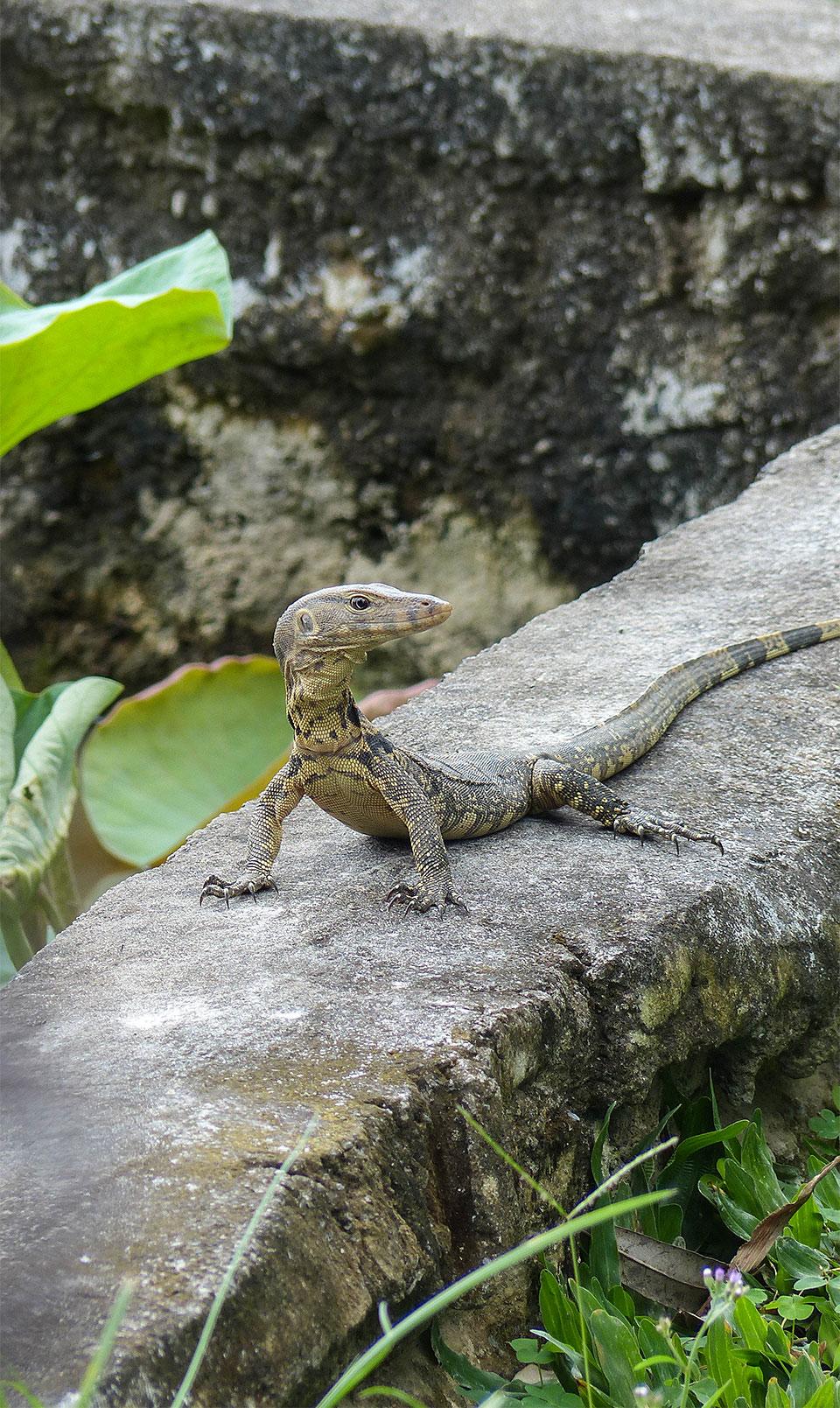 1-3-Bali-Nature-VaranusSalvator