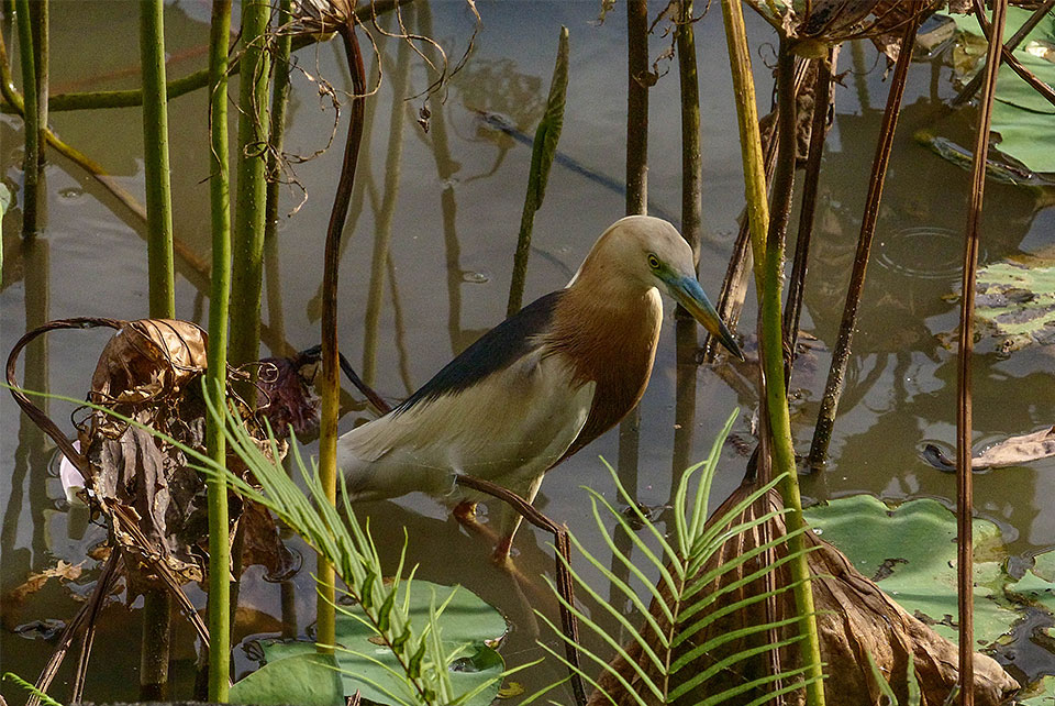 1-4-Bali-Nature-ArdeolaSpeciosa